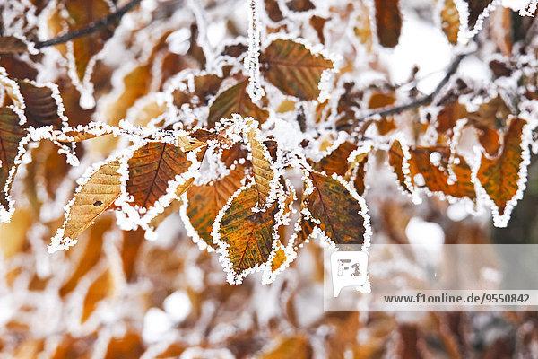 Deutschland  Herbstblätter im Winter