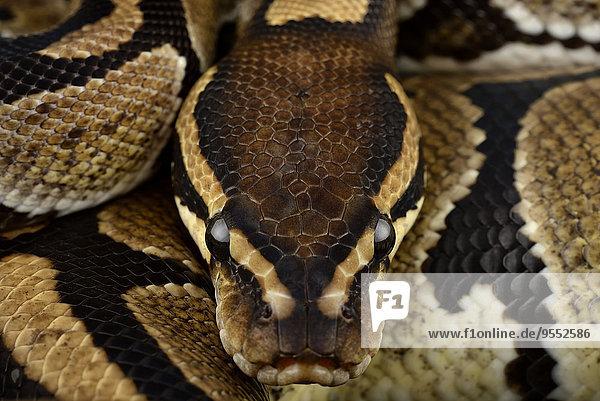 Königspython  Python regius  Teilansicht