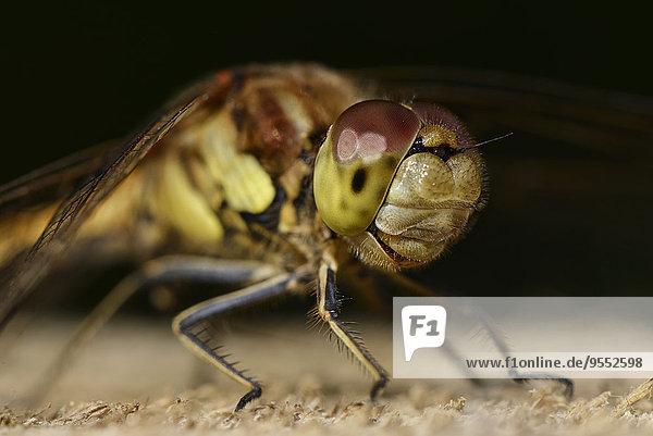 Porträt der Heidelibelle  Sympetrum striolatum