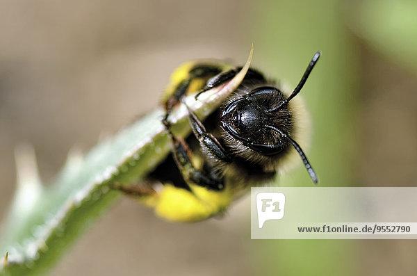 Porträt der einsamen Biene  Andrena Porträt der einsamen Biene, Andrena