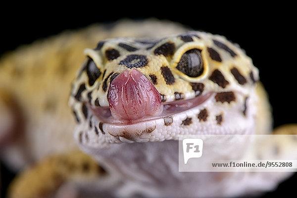 Porträt des Leopardengeckos  Eublepharis macularius Porträt des Leopardengeckos, Eublepharis macularius