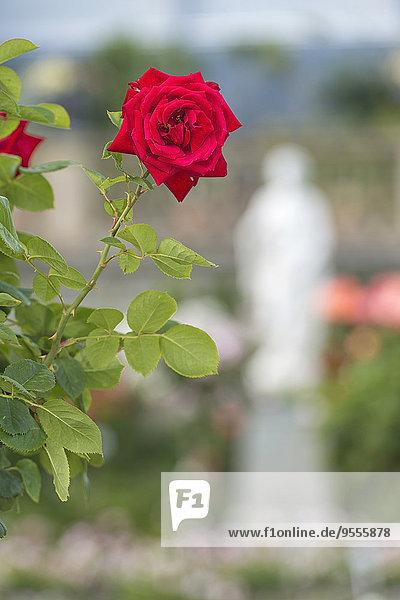 Deutschland  Baden-Württemberg  Insel Mainau  rote Rose im italienischen Rosengarten