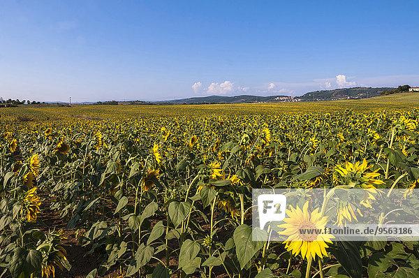 Italien Toskana Val d'Orcia Feld mit Sonnenblumen Provinz Siena