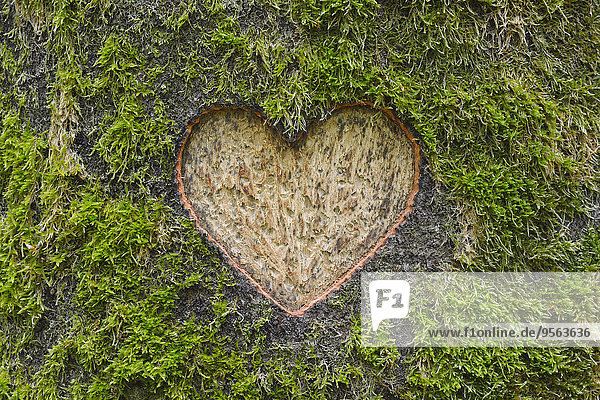 europäisch Baum Baumstamm Stamm herzförmig Herz Steinschlag Moos schnitzen Buche Buchen Deutschland Hessen