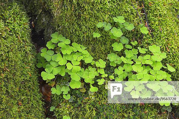 europäisch Baum Close-up Baumstamm Stamm Steinschlag Moos Buche Buchen Bayern Deutschland