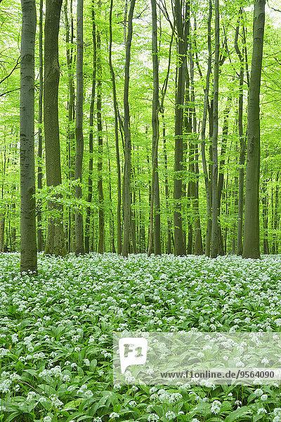 Europa europäisch Wald Bärlauch Allium ursinum Buche Buchen Lauch Deutschland Thüringen