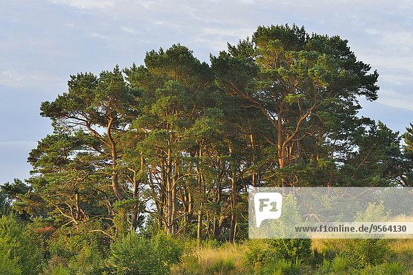 Sommer Baum Wald Insel Kiefer Pinus sylvestris Kiefern Föhren Pinie Baltikum Ostsee Baltisches Meer Deutschland Hiddensee