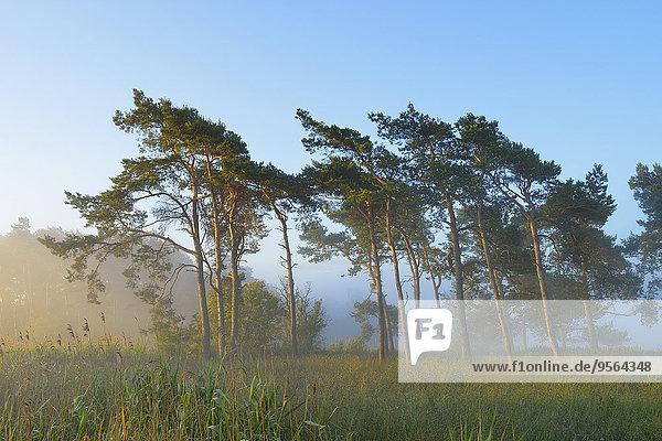 Morgen Baum Dunst Kiefer Pinus sylvestris Kiefern Föhren Pinie Deutschland Mecklenburg-Vorpommern