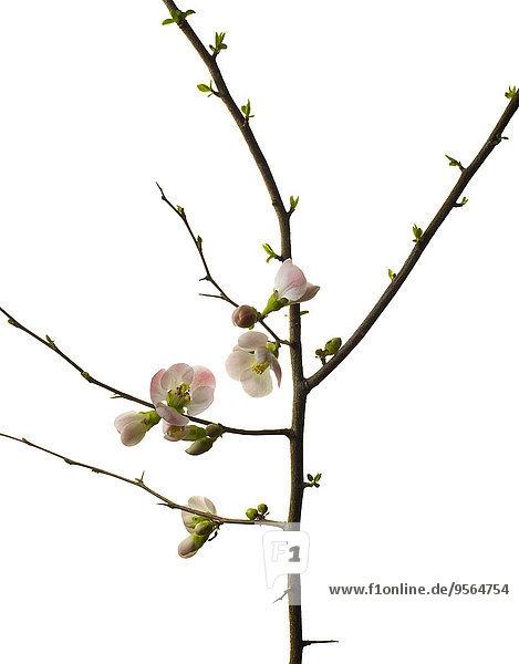 Studioaufnahme klein Kirsche weiß Hintergrund blühen Ast