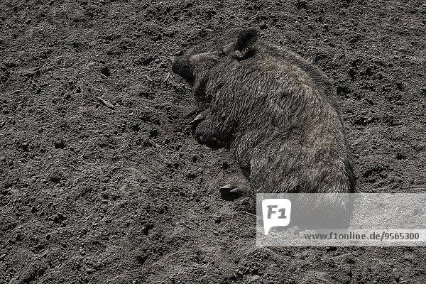 Hochwinkelansicht des auf Schmutz liegenden Schweins