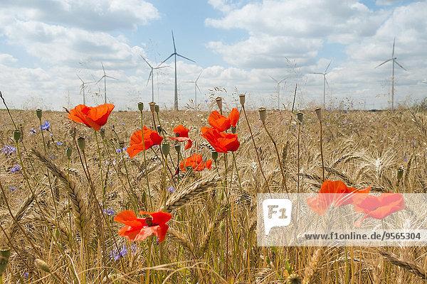 Mohnfeld gegen Windmühlen