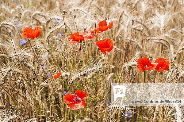 Mohn und Feldfrüchte
