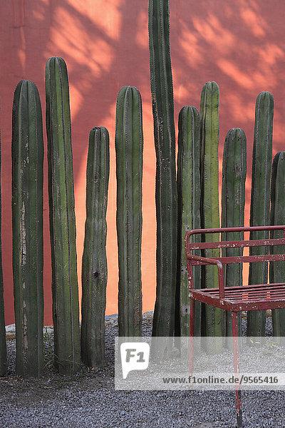 Kaktus wächst vor der Wand im Freien