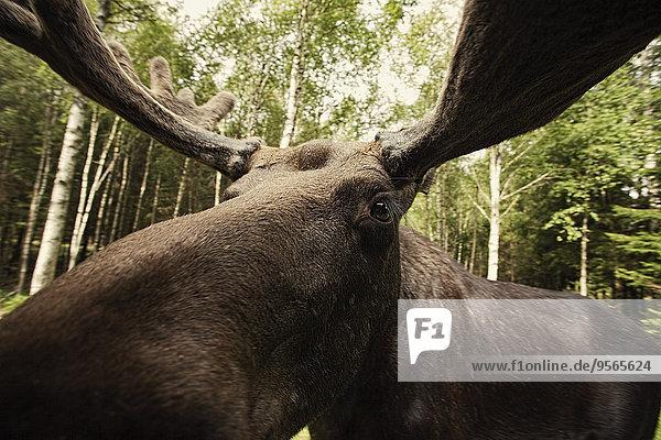 Nahaufnahme der Rentiere im Wald