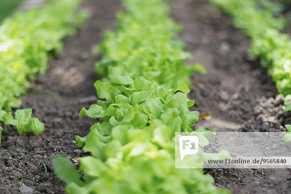 Oberflächenebene des Salatfeldes