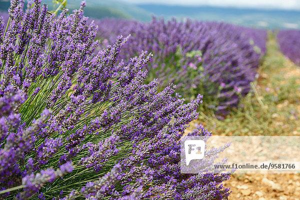 französisch Tradition Feld Zimmer Lavendel Pyrenäen Sault