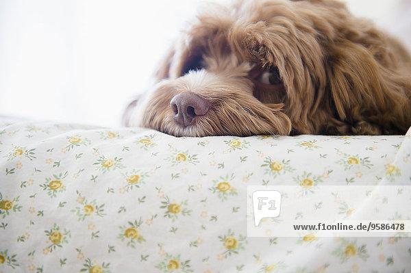 liegend liegen liegt liegendes liegender liegende daliegen Bett Hund Close-up close-ups close up close ups
