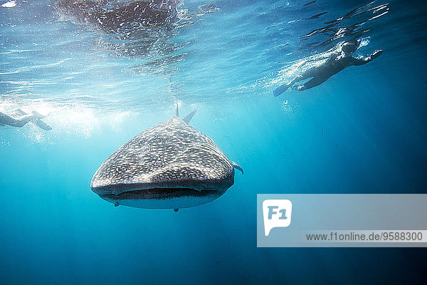 Mexico  Yucatan  Isla Mujeres  Caribbean Sea  Whale shark  Rhincodon typus  and divers