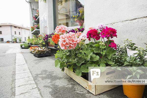 Topfpflanzen und Blumenkisten auf Asphalt außerhalb des Blumenladens  Suno  Novara  Italien
