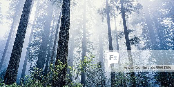 Redwood Nationalpark  Kalifornien  USA
