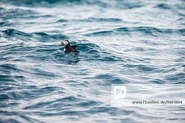 Wasser 1 Papageitaucher Fratercula arctica Island