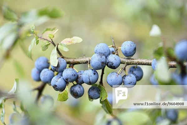 Schwarzdorn Prunus spinosa Sommer Frucht Wald Close-up Pflaume Bayern Deutschland Oberpfalz