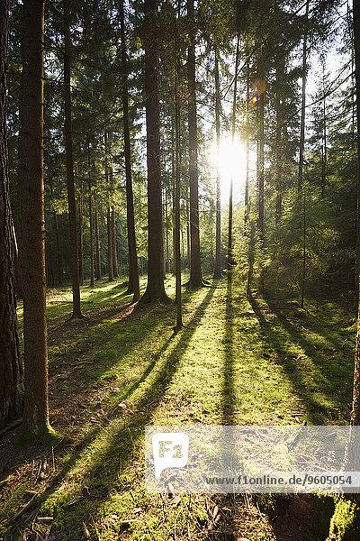 Fichte Tanne Sommer Landschaft spät Wald Norwegen Bayern Deutschland Oberpfalz