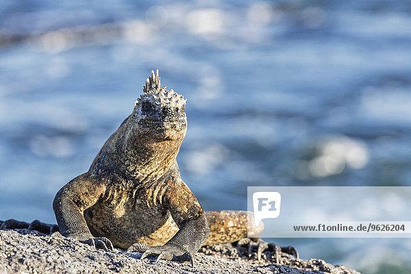 Ecuador  Galapagosinseln  Fernandina  Meeresleguan  Amblyrhynchus cristatus  auf Stein sitzend Ecuador, Galapagosinseln, Fernandina, Meeresleguan, Amblyrhynchus cristatus, auf Stein sitzend