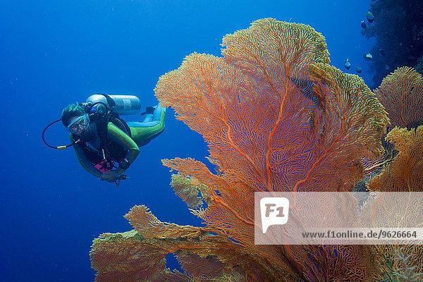 Pazifik  Palau  Taucher im Korallenriff mit Giant Fan Coral