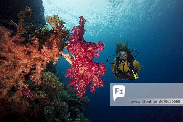 Pazifik  Palau  Taucher im Korallenriff mit Baumkorallen