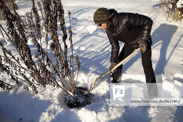 Mann bei der Ernte von Topinamburknollen im Winter
