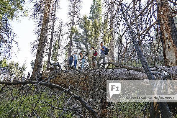 Fünf junge erwachsene Freunde beim Wandern auf einem umgestürzten Baum im Wald  Los Angeles  Kalifornien  USA