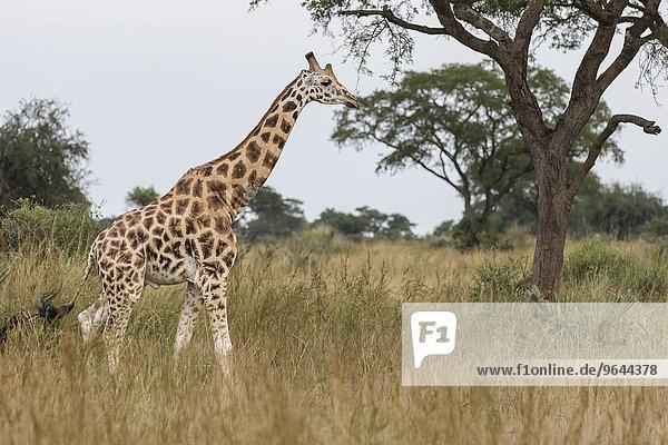 Uganda-Giraffe oder Rothschild-Giraffe (Giraffa camelopardalis rothschildi)  Murchison-Falls-Nationalpark  Uganda  Afrika
