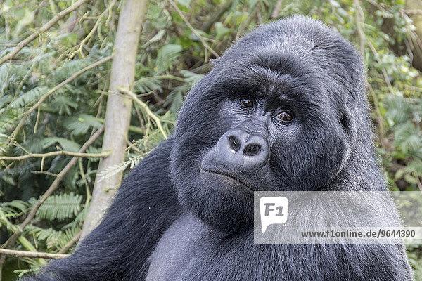 Berggorilla (Gorilla beringei beringei) der Nyakagezi-Gruppe  Mgahinga-Gorilla-Nationalpark  Uganda  Afrika