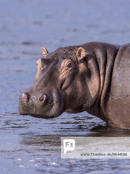 Flusspferd (Hippopotamus amphibius)  Murchison-Falls-Nationalpark  Uganda  Afrika
