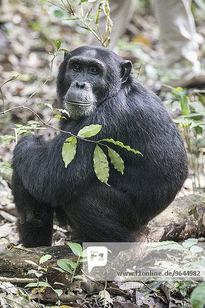 Östlicher Schimpanse (Pan troglodytes schweinfurthii)  Kibale Forest  Uganda  Afrika