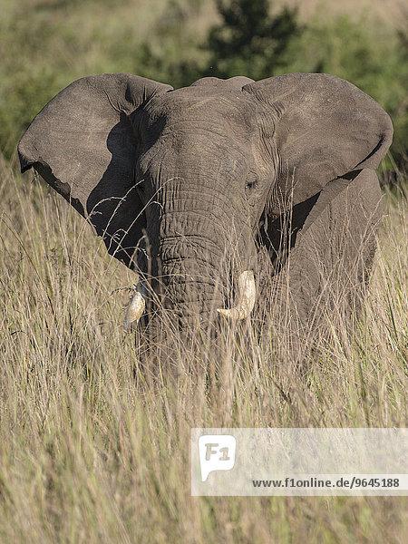 Afrikanischer Elefant (Loxodonta africana)  Queen-Elizabeth-Nationalpark  Uganda  Afrika