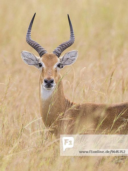 Uganda-Kob (Kobus kob thomasi)  Murchison-Falls-Nationalpark  Uganda  Afrika
