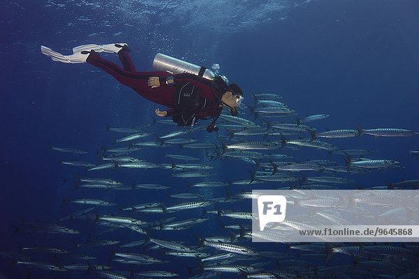 Diver swimming with a school of Blackfin Barracudas (Sphyraena qenie)  Palau  Oceania
