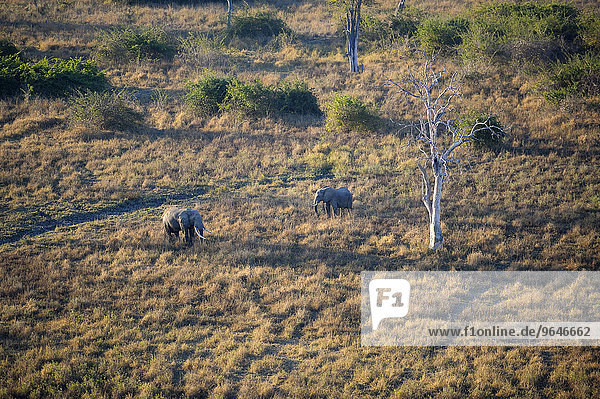 Two African elephants walking through dry grass  (Loxodonta africana)  bull and cow  aerial view  in the early morning light  South Luangwa National Park  Zambia  Africa