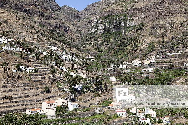 Kanarische Dattelpalmen (Phoenix canariensis)  Terrassenfelder und Häuser von Lomo del Balo und La Vizcaina  Valle Gran Rey  La Gomera  Kanarische Inseln  Spanien  Europa