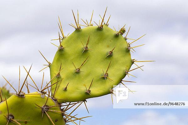 Blatt mit Stacheln  Opuntie  Feigenkaktus (Opuntia)  Gran Canaria  Kanaren  Spanien  Europa Blatt mit Stacheln, Opuntie, Feigenkaktus (Opuntia), Gran Canaria, Kanaren, Spanien, Europa
