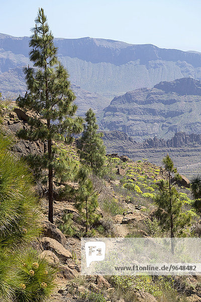 Pines along the trail  mountain landscape of Monte Leon  Gran Canaria  Canary Islands  Spain  Europe