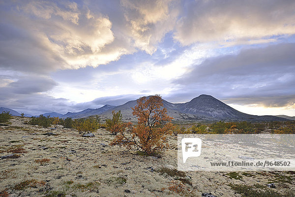 Downy Birch trees (Betula pubescens) and Reindeer Lichen (Cladonia rangiferina)  fjell landscape in autumn  at the back the peaks of the Stygghøin mountain range  Stygghoin  Rondane National Park  Norway  Europe