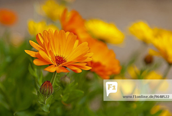 Marigold (Calendula officinalis)  flowers  Germany  Europe