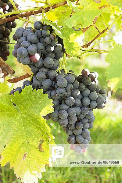 Rote Weintrauben am Rebstock  Esslingen  Baden-Württemberg  Deutschland  Europa