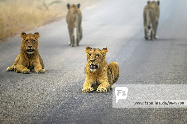 Löwen (Panthera leo) auf einer Asphaltstraße  Krüger-Nationalpark  Südafrika Löwen (Panthera leo) auf einer Asphaltstraße, Krüger-Nationalpark, Südafrika