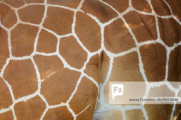 Netzgiraffe  Somali-Giraffe (Giraffa camelopardalis reticulata)  Nahaufnahme Fellzeichnung  Samburu-Nationalreservat  Kenia  Afrika