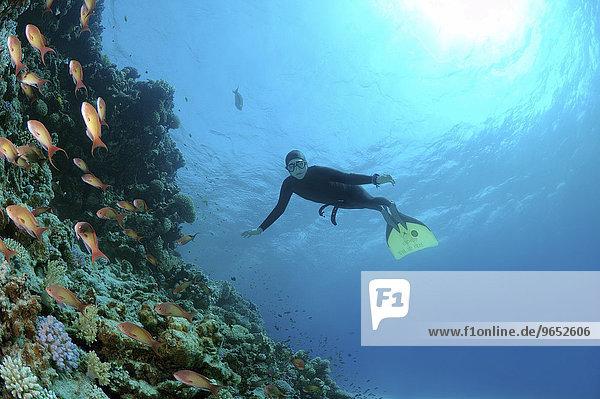 Freediver taucht im Korallenriff  Rotes Meer  Ägypten  Afrika