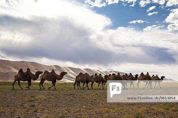 Kamele (Camelus ferus)  Wüste Gobi  Mongolei  Asien